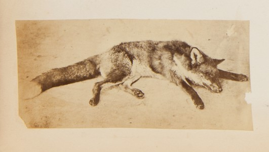 Dead Fox, from the Georgina Ferguson Album
