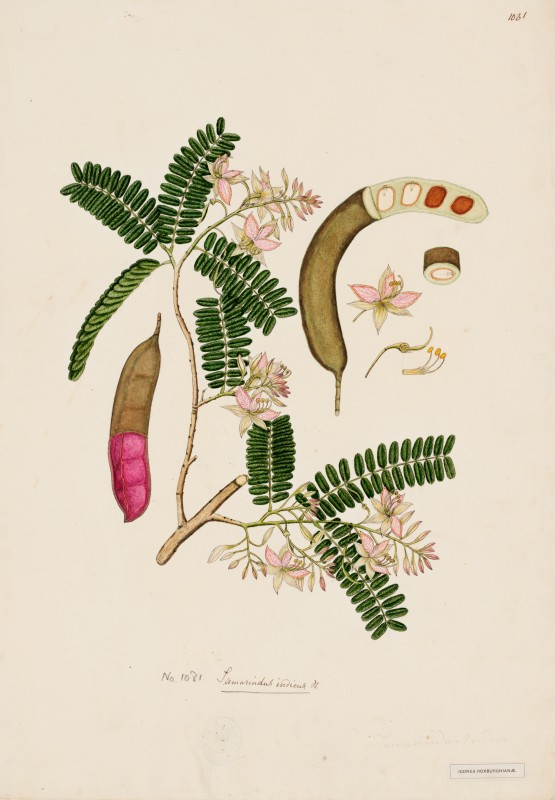 tamarind illustrated in <i>Flora Indicadate</i>, hand painted illustration, date unknown. Collection of Royal Botanic Gardens, Kew.