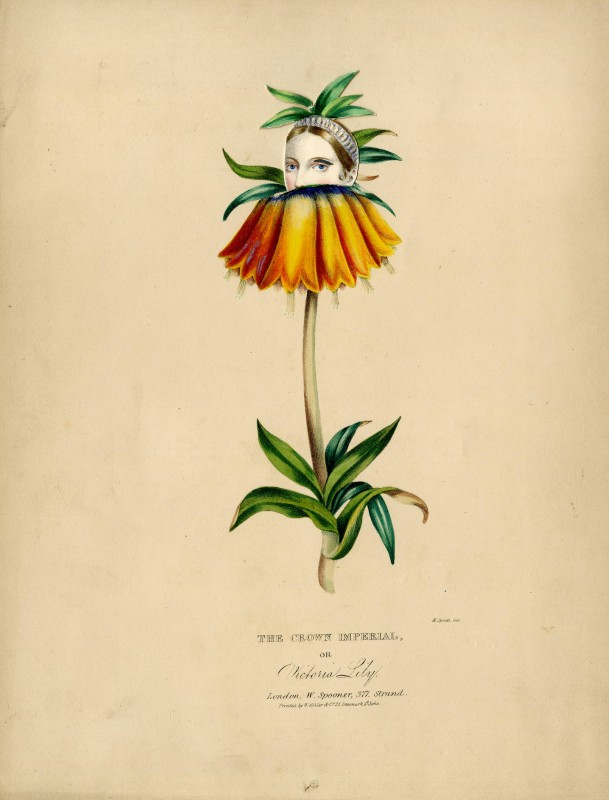 The Crown Imperial, or Victoria Lily
